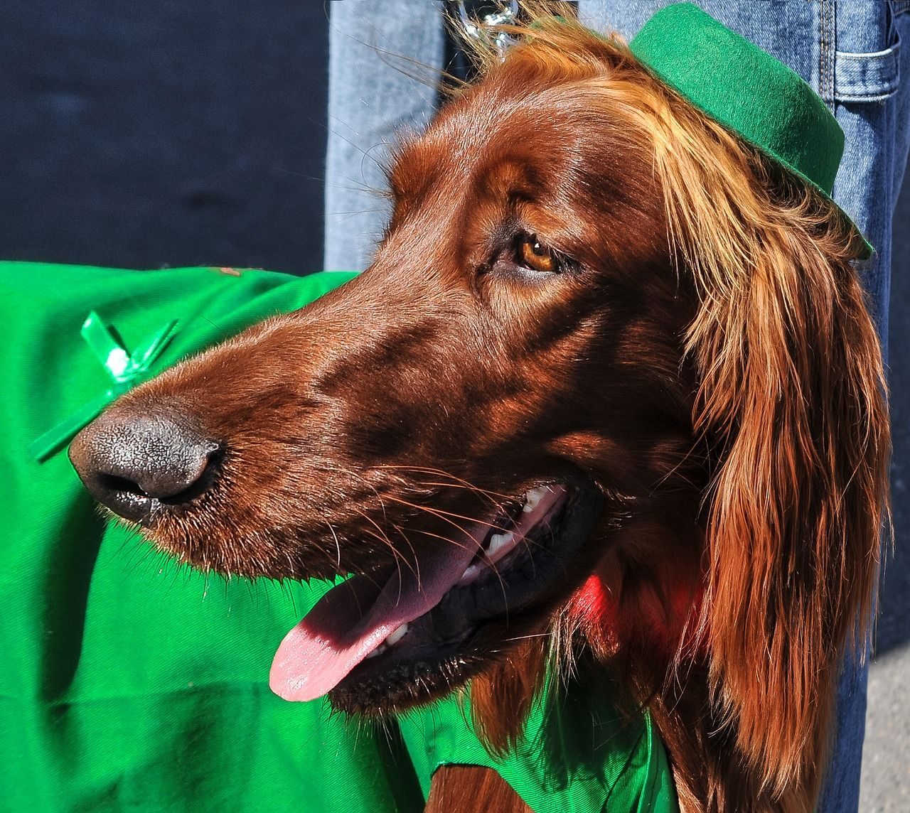 A dog takes part in a St. Patrick's Day parade