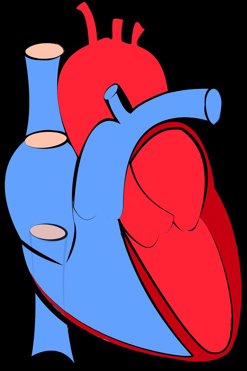 menschliches herz, blutfluss, mit sauerstoff angereicherten sauerstoff entzogen