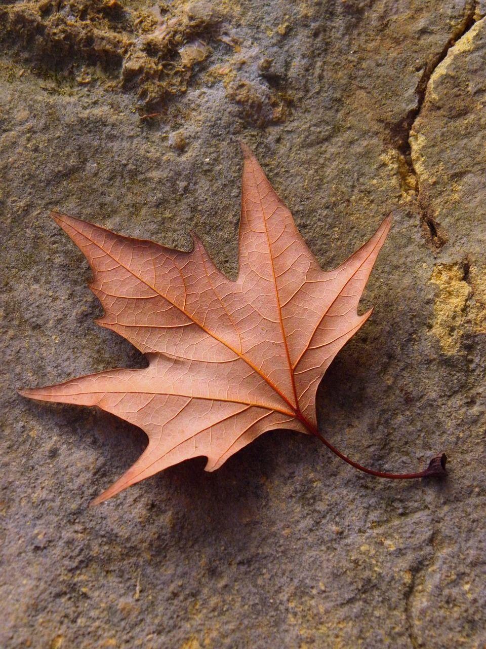 Blatt eines Ahornbaums