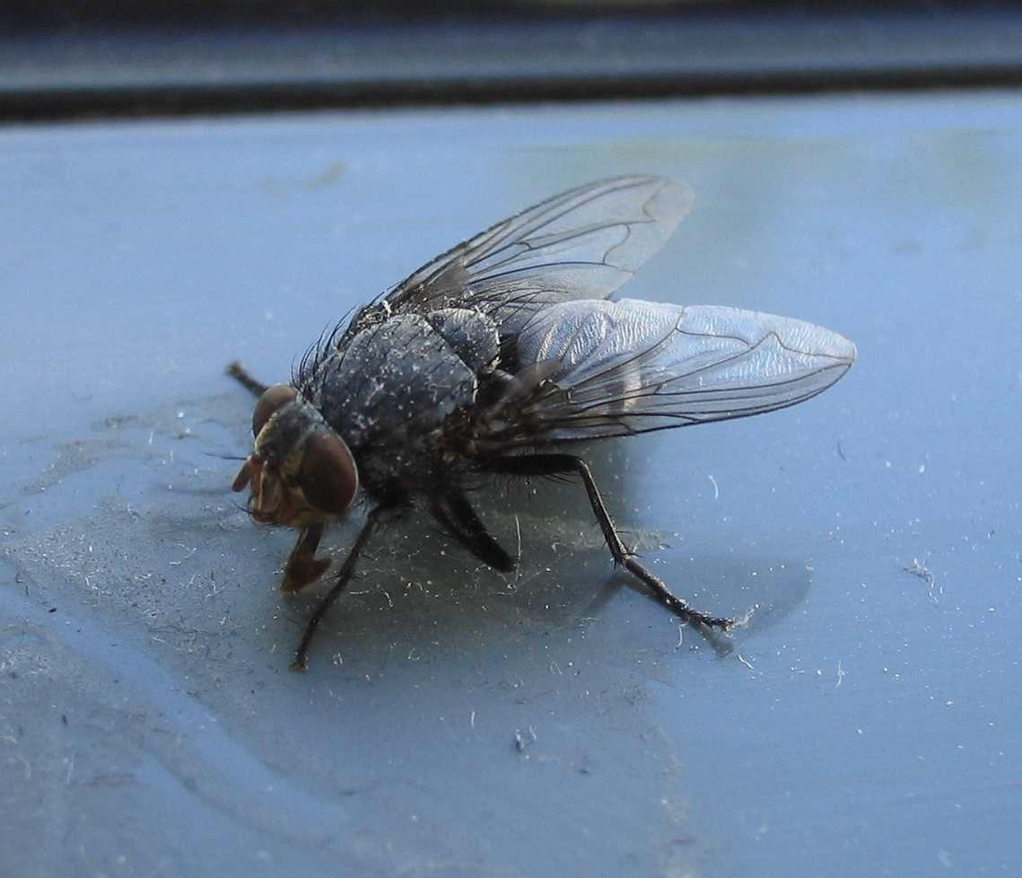 die Fliege / -n