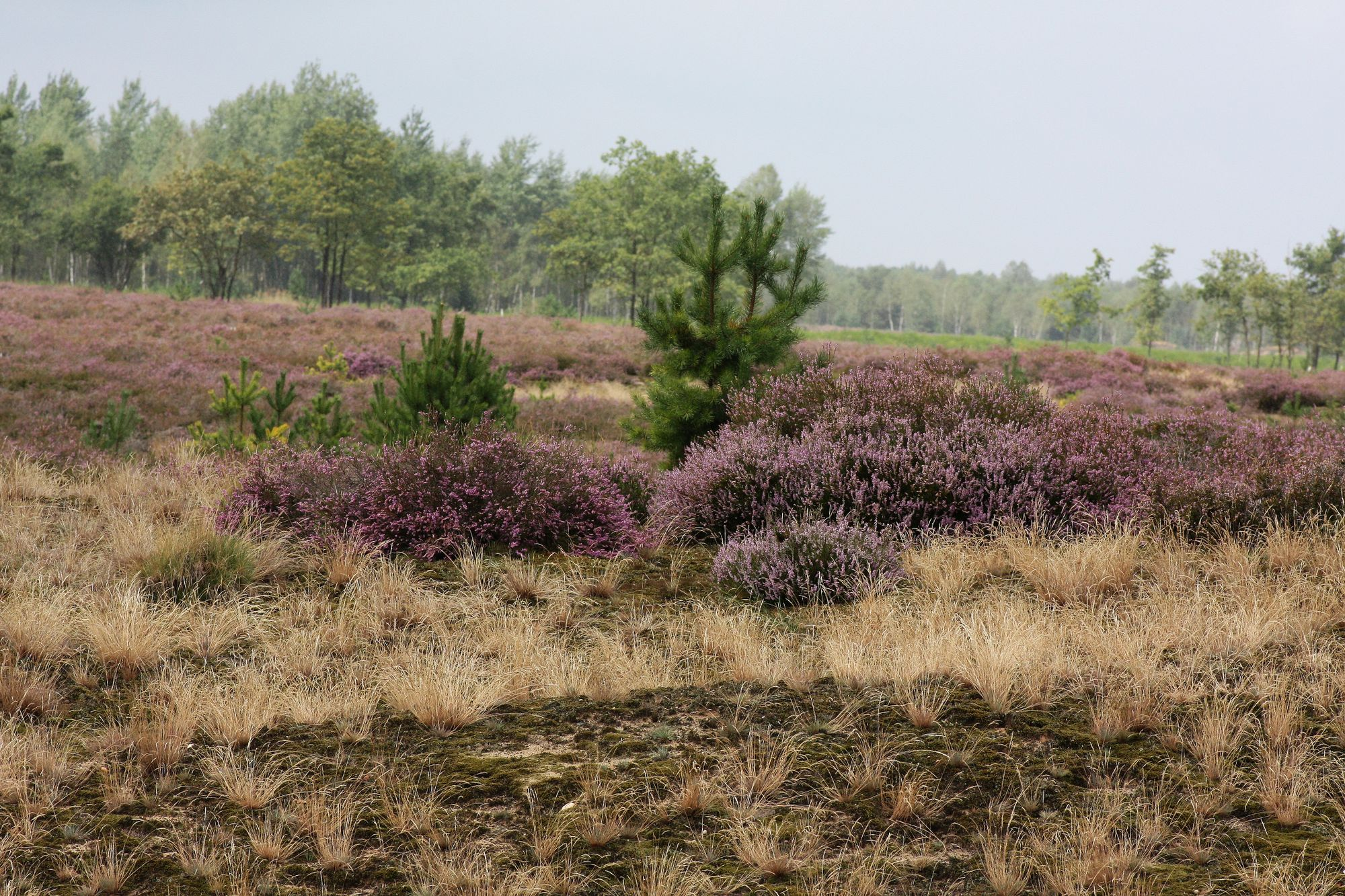 Königsbrücker Heide