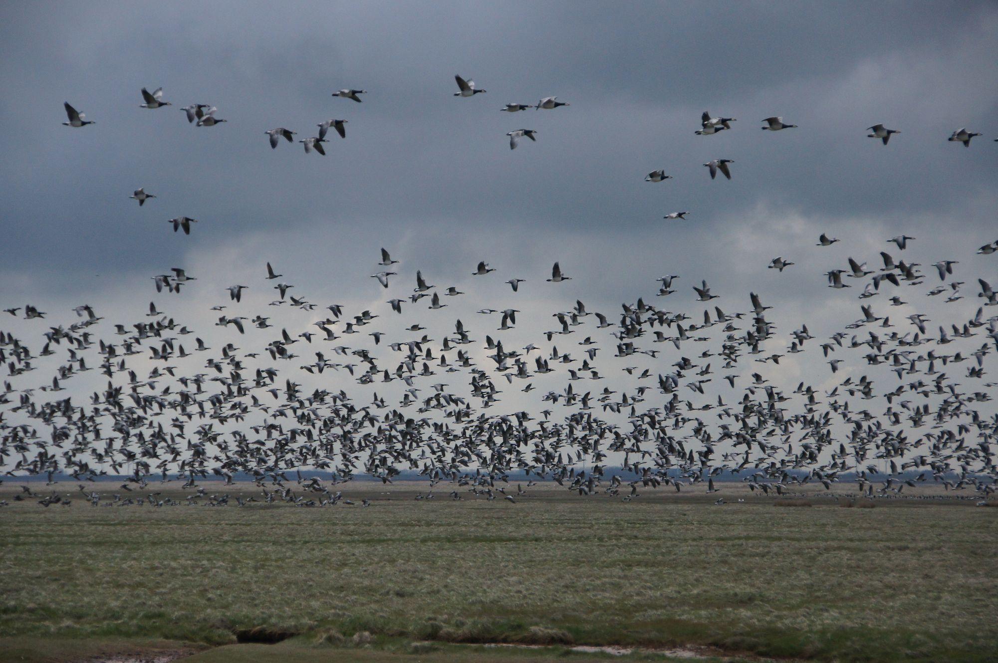 Zugvogelstart Norderney Nationalpark Niedersächsisches Wattenmeer