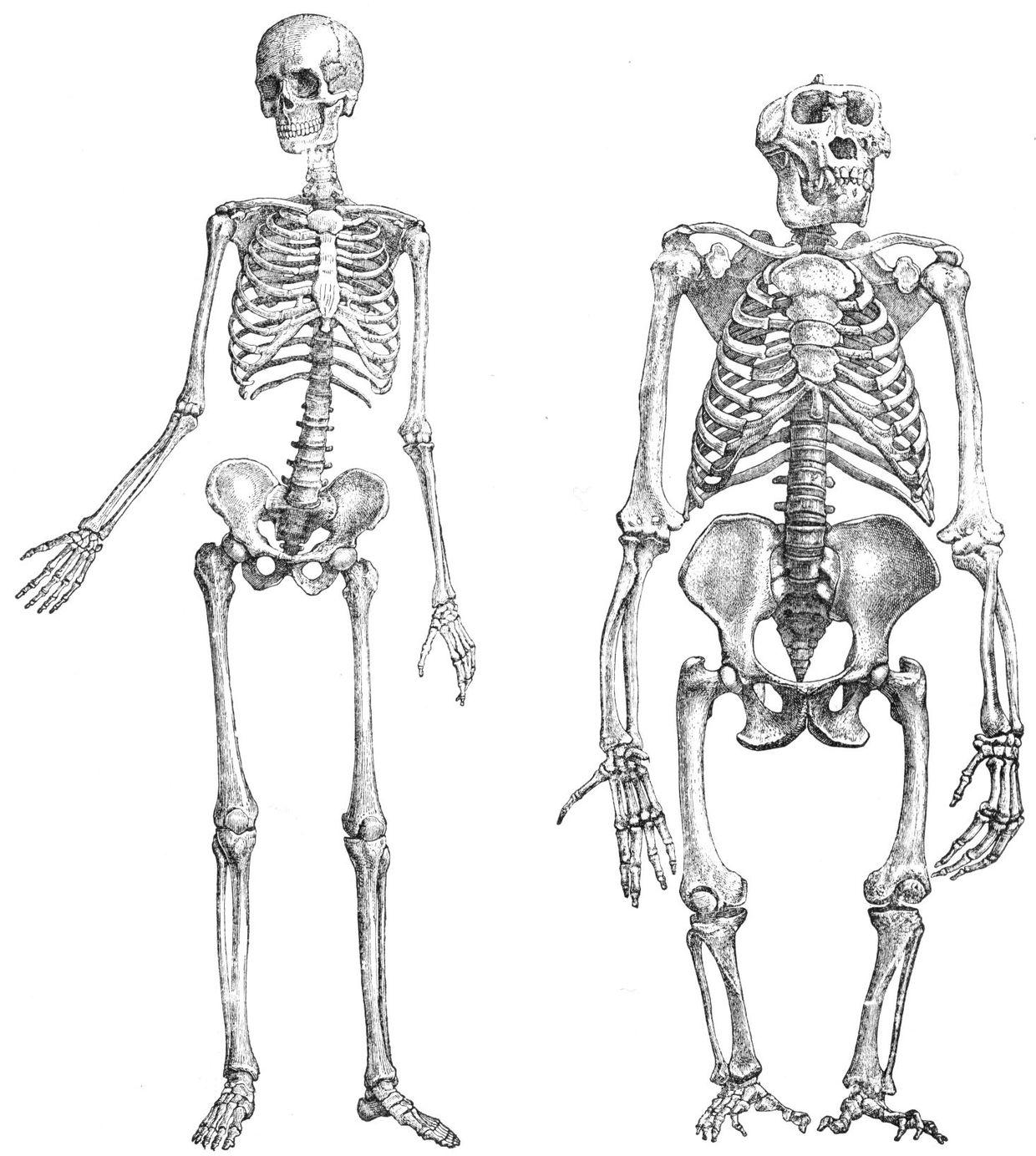 arbeitsblatt skelett biologie allgemeine hochschulreife mittlere reife. Black Bedroom Furniture Sets. Home Design Ideas